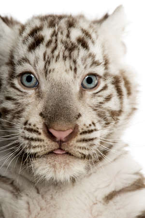 tigre cachorro: Primer plano de un cachorro de tigre blanco (2 meses)
