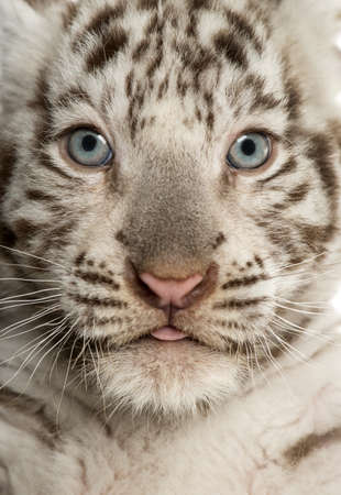 Close-up of a White tiger cub (2 months old) Stock Photo - 20142097