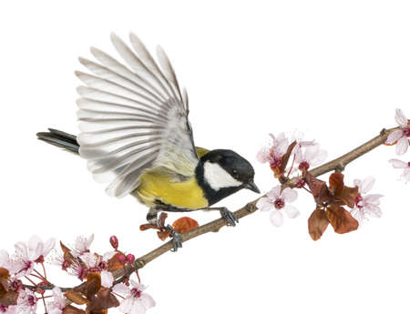 parus major: Male great tit taking off from a flowering branch - Parus major, isolated on white