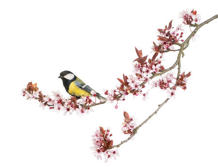 parus major: Male great tit perched on a flowering branch, Parus major, isolated on white