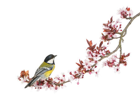 black cherry: Male great tit perched on a flowering branch, Parus major, isolated on white