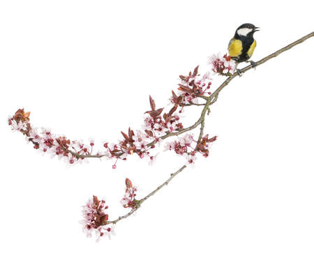 Male great tit perched on a flowering branch, Parus major, isolated on white photo