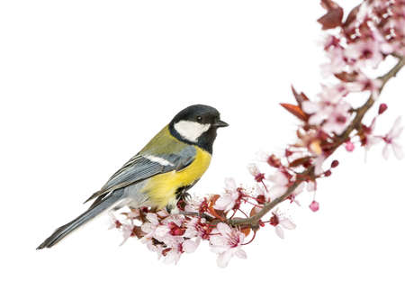 tit: Male great tit perched on a flowering branch, Parus major, isolated on white