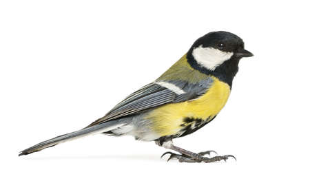 parus major: Male great tit,  Parus major, isolated on white