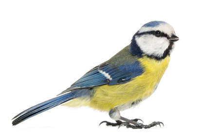 cyanistes: Side view of a Blue Tit, Cyanistes caeruleus, isolated on white