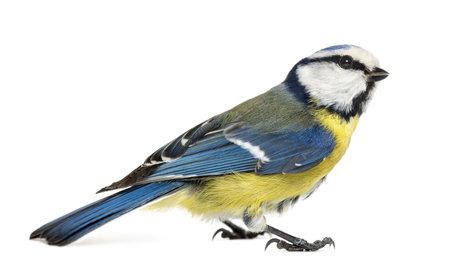 blue tit: Vue lat�rale d'une m�sange bleue, Cyanistes caeruleus, isol� sur blanc Banque d'images