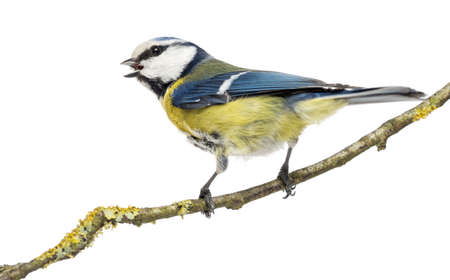 caeruleus: Rear view of a tweeting Blue Tit perched on a branch,  Cyanistes caeruleus, isolated on white Stock Photo