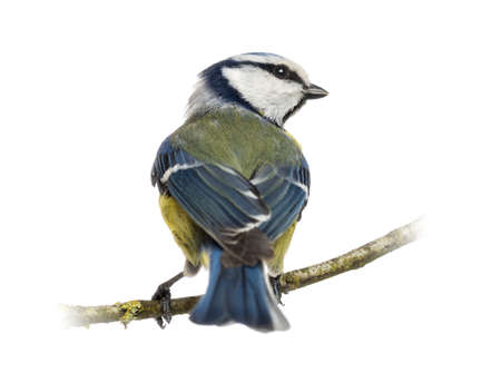 cyanistes: Rear view of a Blue Tit perched on a branch, Cyanistes caeruleus, isolated on white
