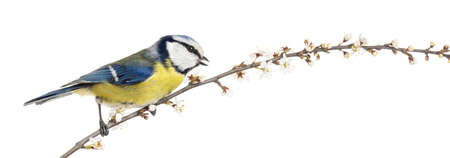 caeruleus: Side view of tweeting Blue Tit perching on a blossoming branch, Cyanistes caeruleus