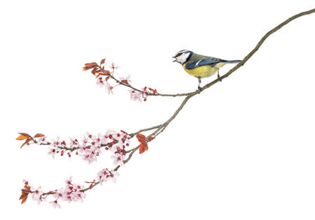 tit: Side view of a tweeting Blue Tit perching on a blossoming branch, Cyanistes caeruleus, isolated on white
