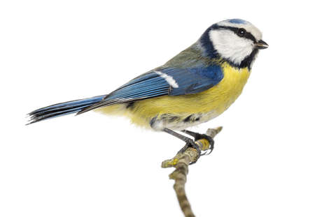 Side view of a Blue Tit perching on a branch, Cyanistes caeruleus, isolated on white