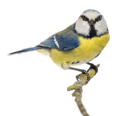 cyanistes: Blue Tit perched on a branch, facing, looking at the camera, Cyanistes caeruleus, isolated on white