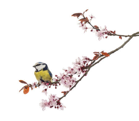 tit: Side view of a Blue Tit perching on a blossoming branch, Cyanistes caeruleus, isolated on white