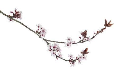 cherry blossom: Japanese Cherry branch, isolated on white
