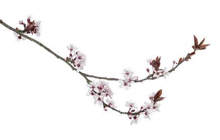 arbol de cerezo: Rama de cerezo japon�s, aislado en blanco