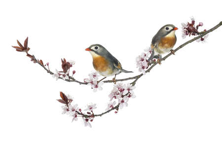 leiothrix: Two Red-billed Leiothrix - Leiothrix lutea - perched on a branch, isolated on white