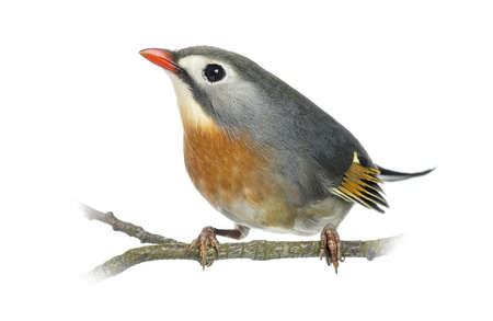 leiothrix: Red-billed Leiothrix (Leiothrix lutea), perched on a branch, isolated on white Stock Photo