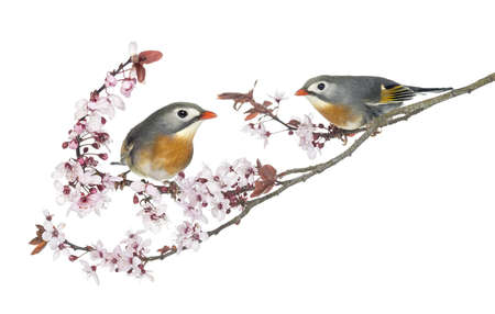 leiothrix: Two Red-billed Leiothrix, Leiothrix lutea, perched on a branch, isolated on white