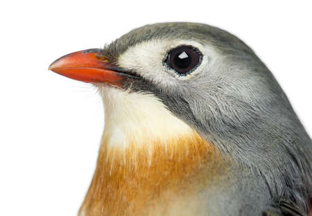 leiothrix: Close-up of a Red-billed Leiothrix, Leiothrix lutea, isolated on white