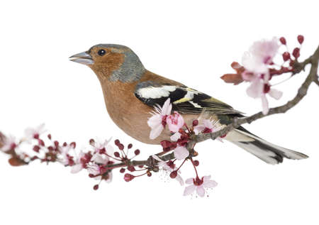 Common Chaffinch perched on branch, singing, isolated on white - Fringilla coelebs photo
