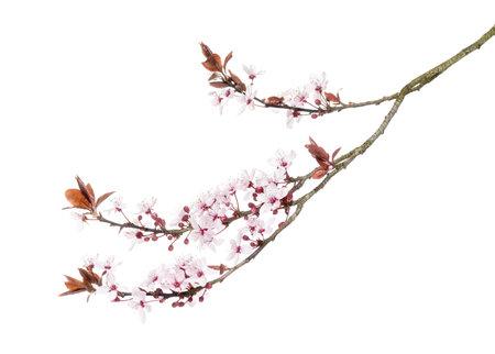 Japanische Kirsche Zweig, isoliert auf weiß