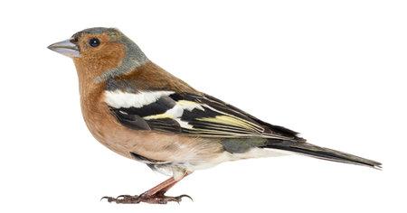 chaffinch: Fringuello, isolato su bianco - Fringilla coelebs