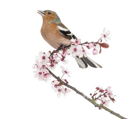 tweeting: Common Chaffinch perched on Japanese cherry branch, tweeting -Fringilla coelebs - isolated on white  Stock Photo