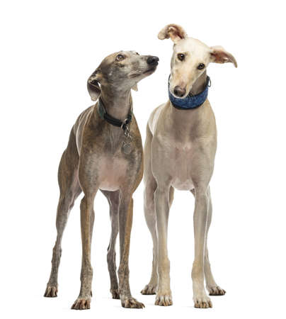 Two Spanish Galgo standing, 6 years old, isolated on white photo
