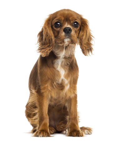 cavalier: Cavalier King Charles Spaniel puppy sitting, facing, 5 months old, isolated on white