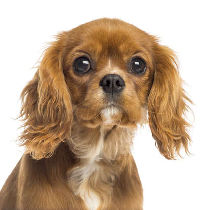 cavalier: Close-up of a Cavalier King Charles Spaniel puppy, 5 months old, isolated on white Stock Photo