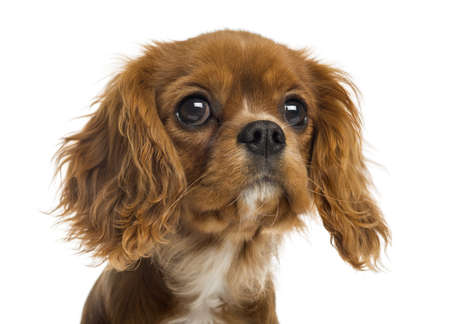 spaniel: Close-up of a Cavalier King Charles Spaniel puppy, 5 months old, isolated on white Stock Photo