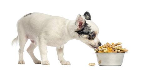 perro comiendo: Chihuahua cachorro comer galletas para perros en un plato, aislados en blanco Foto de archivo