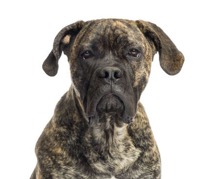 cane corso: Close-up of a Cane Corso, 8 months old, isolated on white Stock Photo