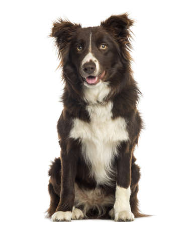 Border Collie sitting, 9 months old, isolated on white Stock Photo - 20146695