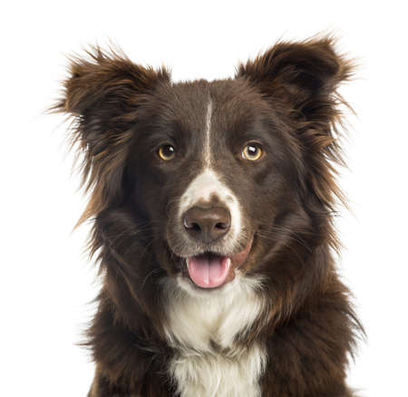 head shot: Close-up of a Border Collie panting, 9 months old, isolated on white
