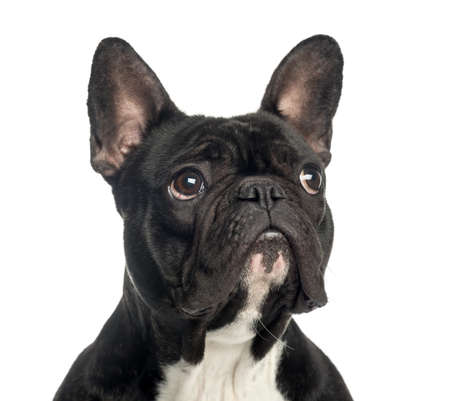 Close-up of a French Bulldog looking up, 2 years old, isolated on white photo