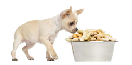 Chihuahua puppy eating from a big bowl full of biscuits, isolated on white photo