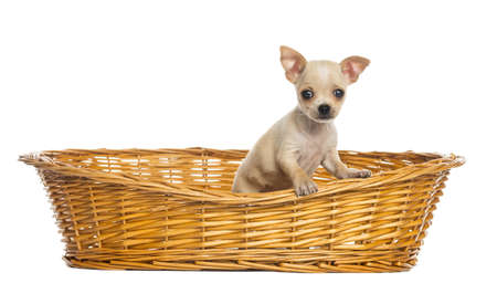 Chihuahua puppy in big wicker basket, isolated on white photo