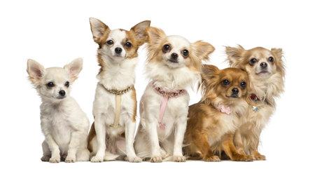 companionship: Grupo de Chihuahua sentado, aislado en blanco Foto de archivo