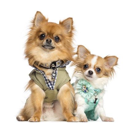 perros vestidos: Dos vestidos Chihuahueños sentado, 10 meses y 2 años de edad, aislado en blanco