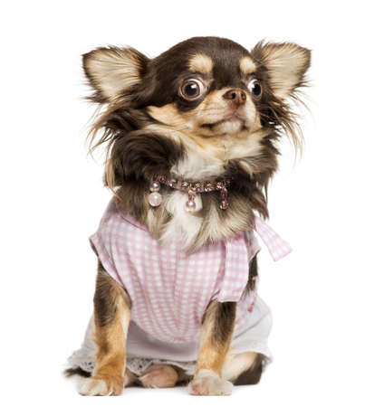 stunned: Dressed up Chihuahua looking stunned, sitting, isolated on white