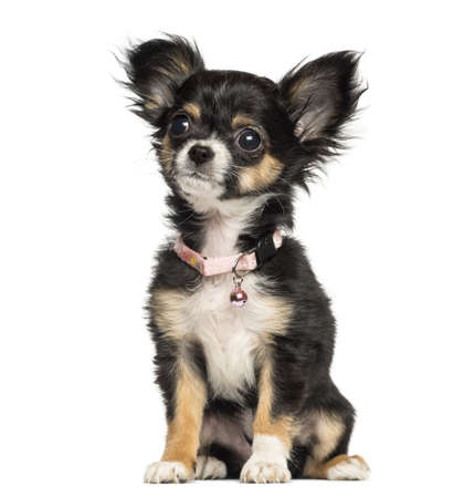 chihuahua 3 months old: Chihuahua puppy wearing fancy collar, 3 months old, isolated on white