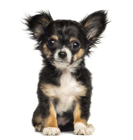 チワワの子犬に座って、カメラ、3 か月古い、見て白で隔離されます。