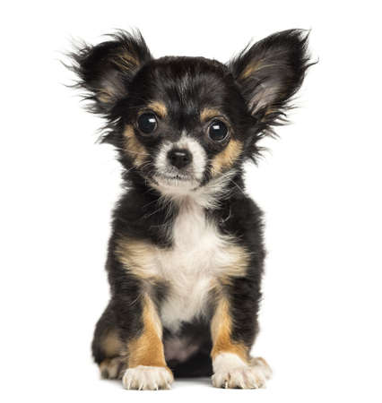 Chihuahua puppy sitting, looking at the camera, 3 months old, isolated on white photo