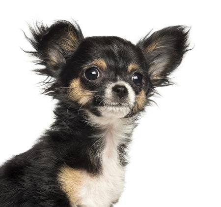 cane chihuahua: Primo piano di un cucciolo di Chihuahua, 3 mesi di età, isolato su bianco Archivio Fotografico