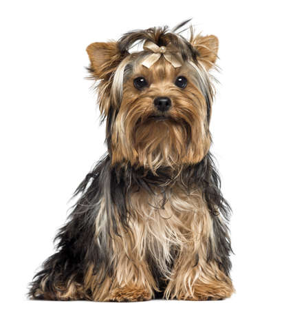 Yorkshire Terrier wearing a bow, sitting, looking at the camera, 7 months old, isolated on white photo