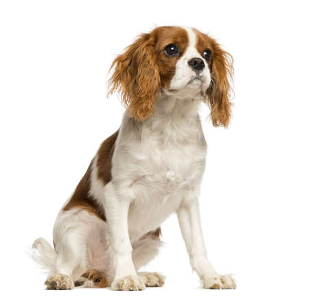 Cavalier King Charles Spaniel puppy, sitting, 5 months old, isolated on white photo