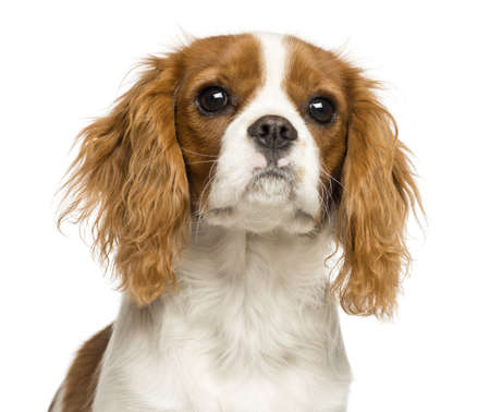 Close-up of a Cavalier King Charles Spaniel puppy, 5 months old, isolated on white photo