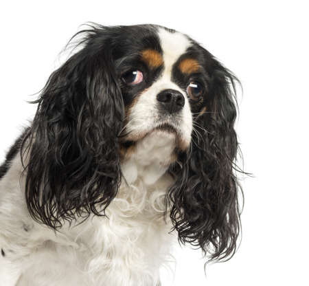Close-up of a Cavalier King Charles Spaniel, 5 years old, isolated on white photo