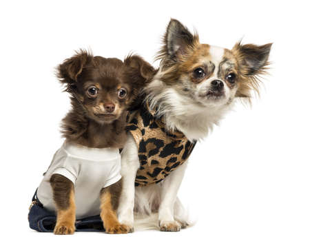 Dressed up Chihuahua puppies sitting, 3 and 9 months old, isolated on white